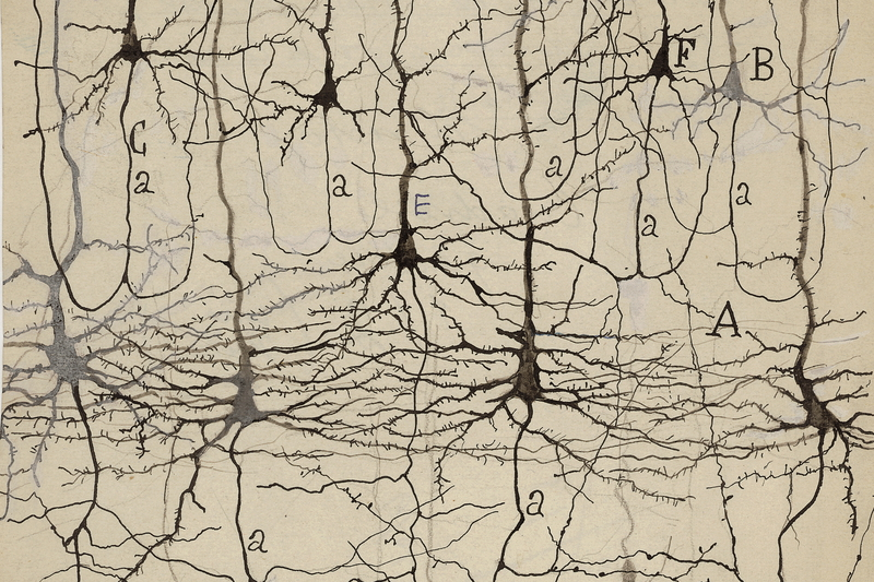 Drawing by Cajal showing Golgi impregnated neurons of the cat visual cortex (21 days old), published in 1921. Courtesy of the Cajal Institute-CSIC, Madrid, Spain. © CSIC